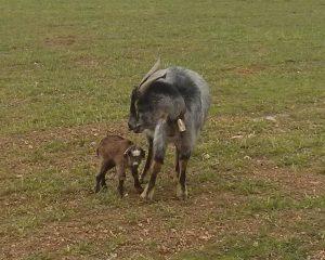 Cabrito lechal con su madre en libertad