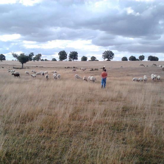 Quesos de pastores afines
