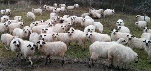 Ganadería de ovejas churras