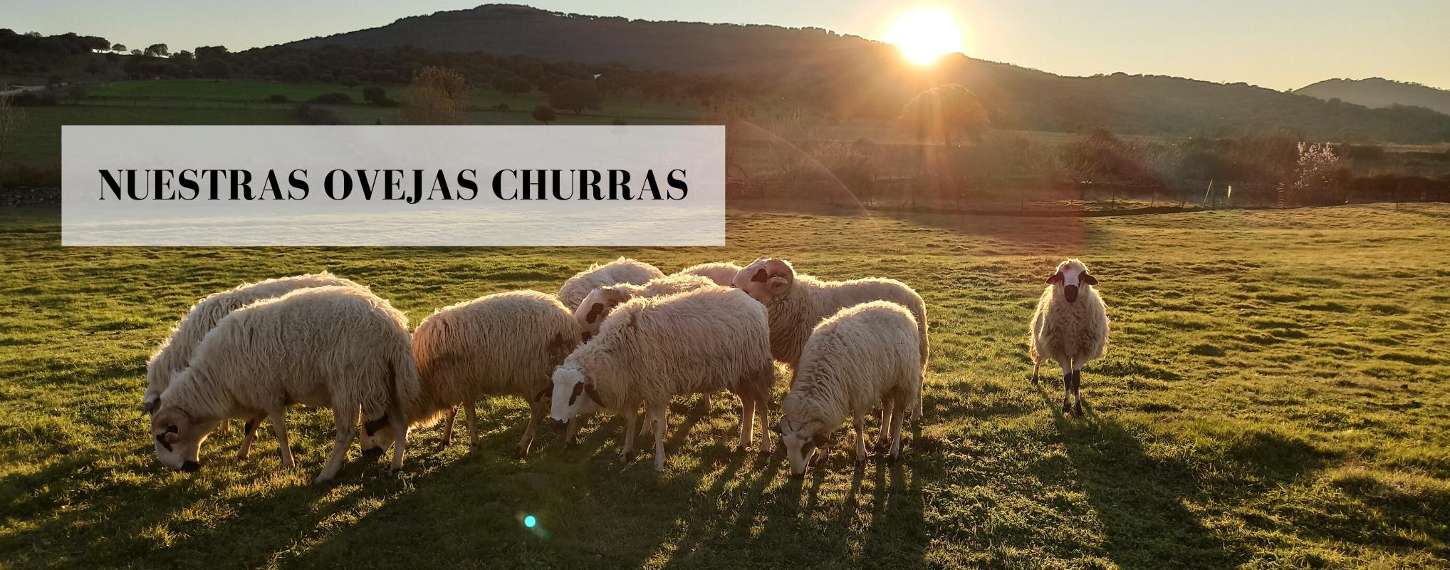 Nuestro rebaño de ovejas churras